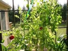 texas tomato cage size