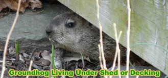 How To Get Rid Of A Skunk In Your Backyard How To Get Rid Of A Groundhog Under My Shed Deck Or House