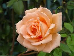 find a rose