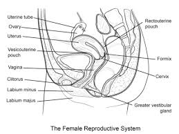Female Anatomy Diagram For Kids Female Reproductive System Coloring Page Free Printable Coloring