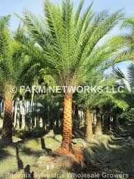 sylvester palm tree price south florida palm trees 786 255 2832 clusia for sale