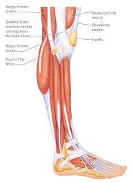 Foot Tendons Anatomy Foot Tendon Diagram Human Anatomy Charts