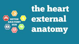 External Heart Anatomy Heart External Anatomy Youtube