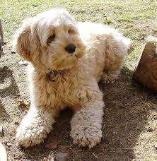 afghan hound poodle cross cockapoo cocker spaniel poodle mix dogable