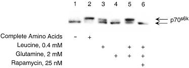 metabolic and autocrine regulation of the mammalian target of