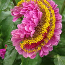 zinnia flower photo of zinnia zinnia flower form garden org