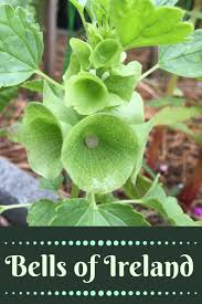 plants native to ireland bells of ireland plant info gardening know how u0027s blog