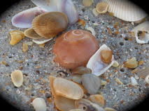 assorted seashells assorted seashells stock photos images pictures 650 images