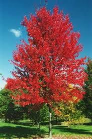 chicago illinois landscaping buy autumn blaze maple trees