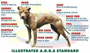 american pitbull terrier gator index of wp content uploads 2015 02