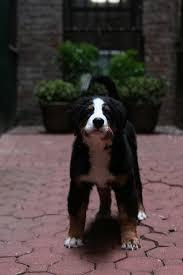 Beautiful Dog Barking sound Effect