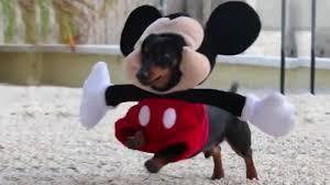 Weiner Dog Halloween Costumes Daschund Dressed Mickey Mouse Fine Blows