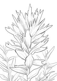 indian paintbrush flower wyoming indian paintbrush coloring page free printable coloring
