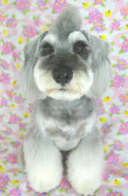 schnauzers hair cuts schnauzer what the heck were they thinking when they gave this guy