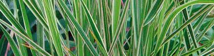 perennial ornamental grasses gardening guide