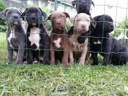 american pit bull terrier zucht american pitbull terrier blueline u0027 insertion tiere welpen