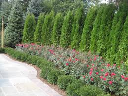evergreen trees for landscaping copyright 2013 jr u0027s creative