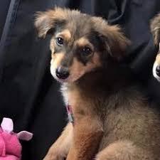 affenpinscher texas affenpinscher dogs for adoption in san diego ca usa