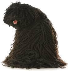 belgian sheepdog dogtime top 21 dogs that don u0027t shed dogtime