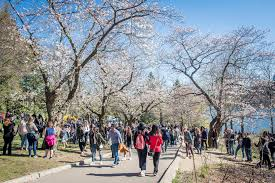 crowds swarm high park for cherry blossoms