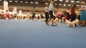 bichon frise kennels world dog show 2014 bichon frise champion males 1 youtube