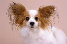 papillon breed information pictures characteristics facts