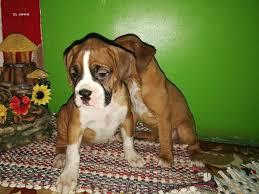 bulldog y boxer dogs cachorros boxer costa rica