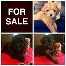 belgian sheepdog for sale in michigan puppies for sale ckc