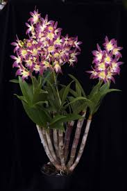 diuris corymbosa common donkey orchid 350 best aussie wildflowers images on pinterest native plants