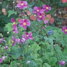 fleurs vivaces rustiques vente plantes vivaces graminées et bulbes pépinière lepage
