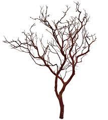 manzanita trees manzanita branches 30 blooms and branches