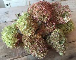 dried hydrangeas large dried hydrangea bouquet large bunch of naturally dried