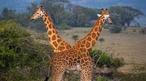 walking with giraffes mission critical episode nat geo wild