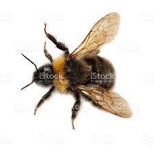 closeup of yellow bumblebee on a white background stock photo