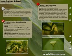 native american plants used for medicine large flowered bellwort edible u0026 medicinal plight to freedom
