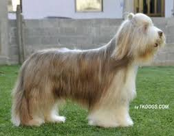 bearded collie brown stars at sea bearded collies and chinese crested