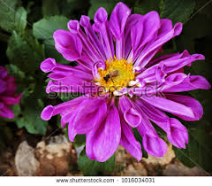 purple color meaning dahlia flower garden meaning instability unstable stock photo