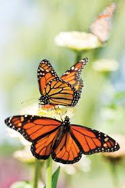 grow a butterfly garden green homes natural home u0026amp garden