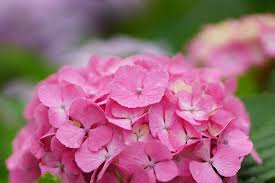 pink color flowers hydrangea closeup