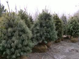 fast growing white pine trees buy trees online call 215 651 8329