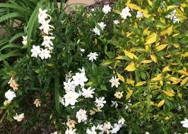 Gardenia Delivery Nematodes May Be Killing Dwarf Gardenias Local Wacotrib Com