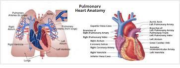 Heart Anatomy Arteries What Is The Pulmonary Artery Mvp Resource