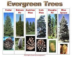 best 25 coniferous trees ideas on fir tree conifer