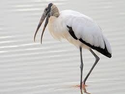 florida wood wood stork identification all about birds cornell lab of