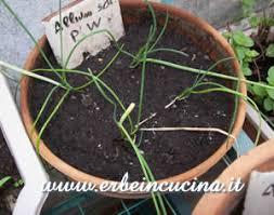 erba cipollina in vaso erbe in cucina divisione dei cespi di erba cipollina