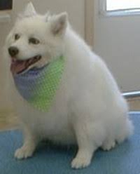 american eskimo dog edmonton grooming services u0026 pricing