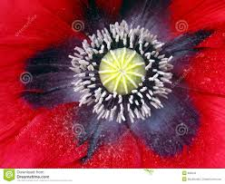 close up poppy flower royalty free stock photo image 826345