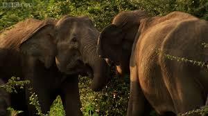mother fights for baby elephant sri lanka elephant island