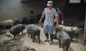 china u0027backyard u0027 pig farmers squeezed as sector scales up asia times