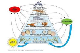 what travels through a food chain or web images Toxins and food webs science learning hub jpg